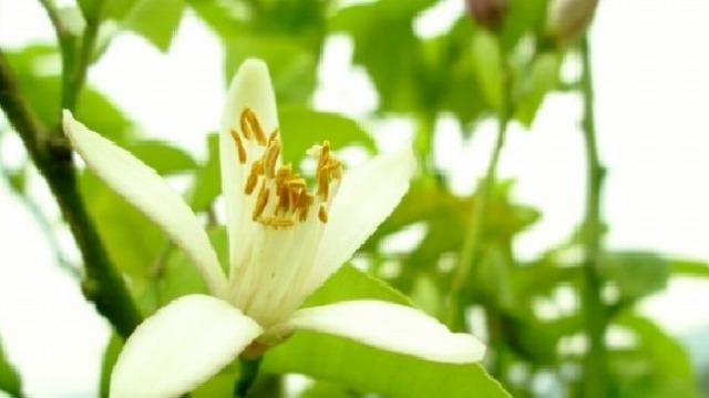 オリーブ畑に咲いたレモンの花