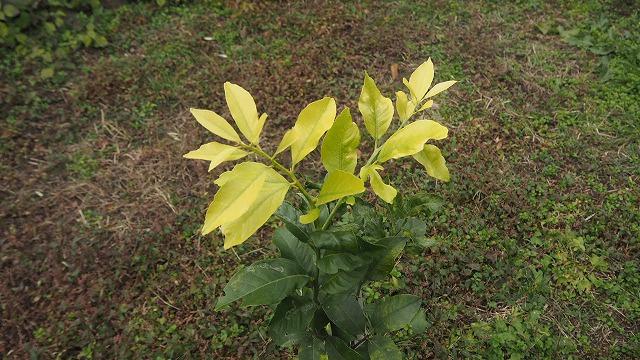 レモンの幼木