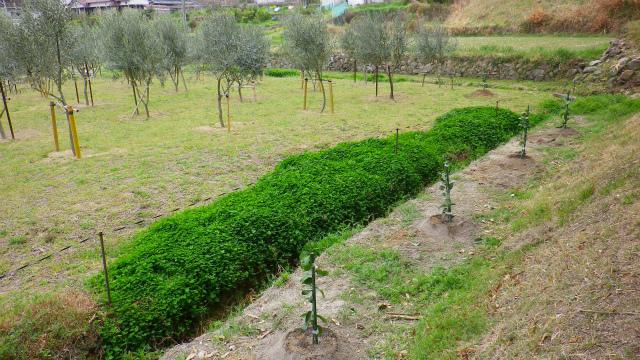 レモンの苗木を植える2013年