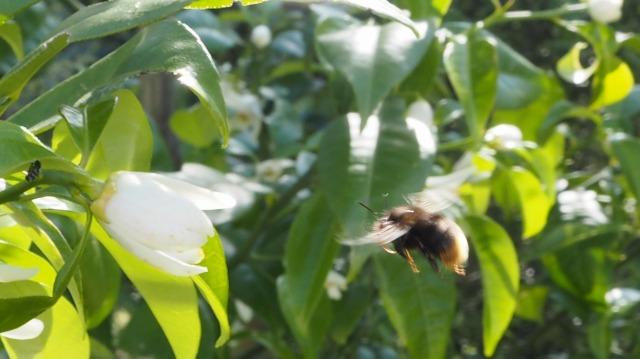 レモンの花と蜂