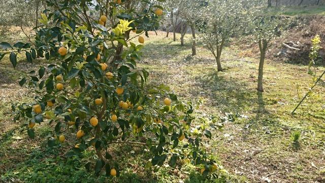 オリーブ畑の有機レモン