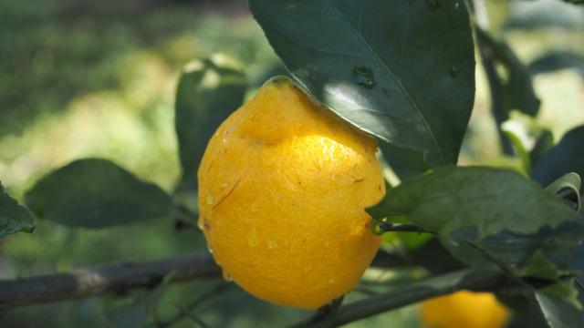 小豆島産有機レモン