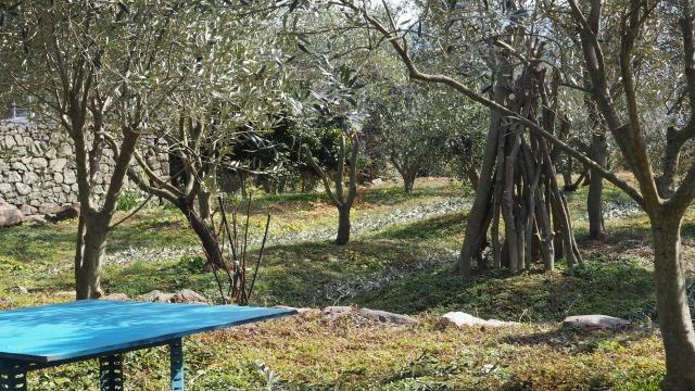 冬のオリーブ畑