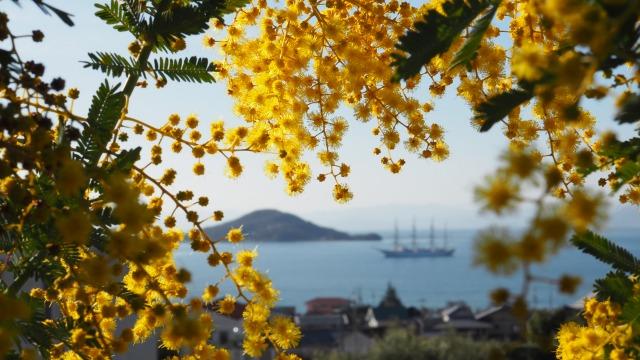 小豆島の春の始まり・ミモザ満開