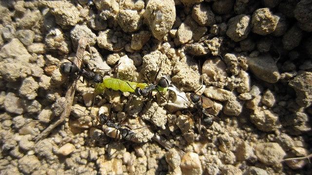 ハマキムシを食べる蟻