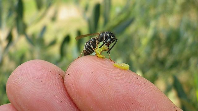 ハマキムシを食べる蜂