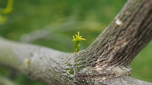 ベルガモットの新芽