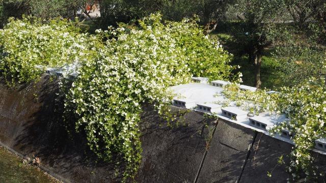 オリーブ畑に咲くモッコウバラ