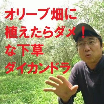 オリーブ畑に植えたらダメな下草ダイカンドラ