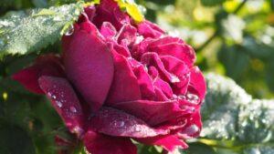バラが咲き始める