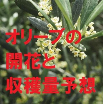 オリーブの開花と収穫量予想