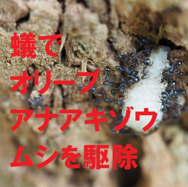 蟻でオリーブアナアキゾウムシを駆除