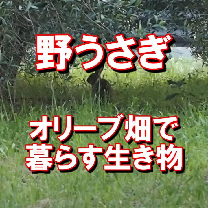 オリーブ畑の野うさぎ
