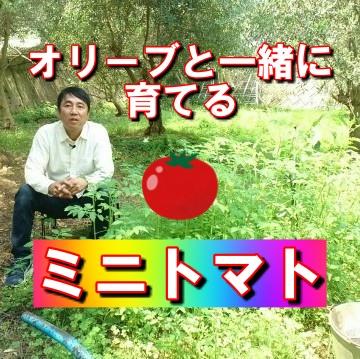 オリーブ畑のミニトマト