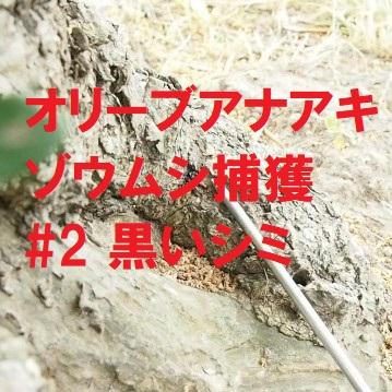 オリーブアナアキゾウムシ幼虫の捕獲のサインは黒いシミ