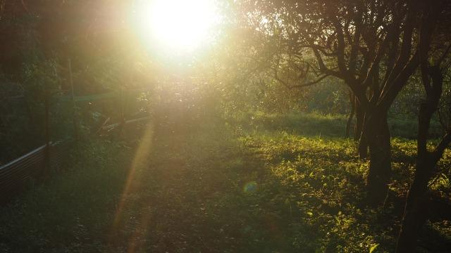 朝日射すオリーブ畑
